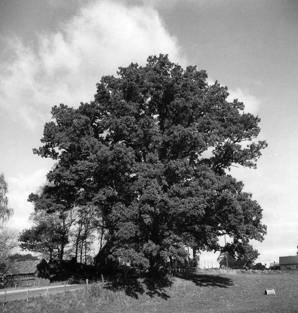 Skäralid-1953-597-cm-Weimarck