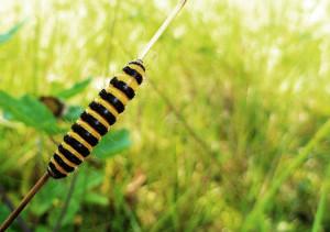 Larv av karminspinnare.