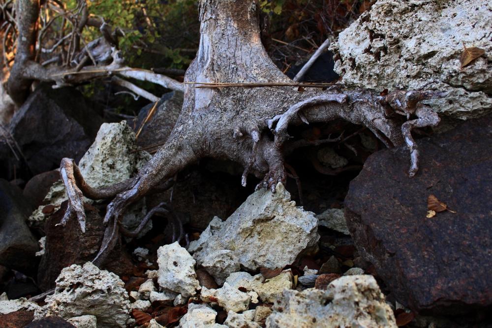 Exponerade rötter. Foto: Elsie Kjeller