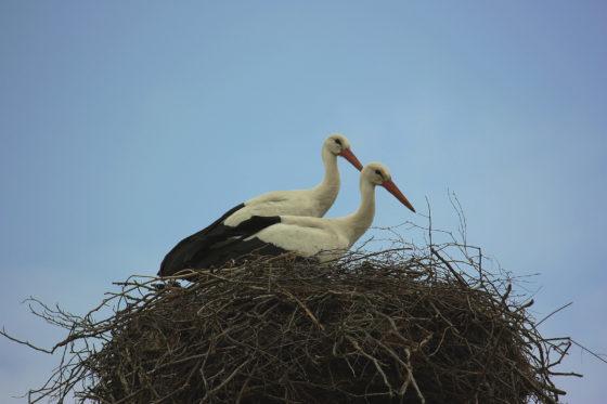Storkpar. Foto: Emma Ådahl