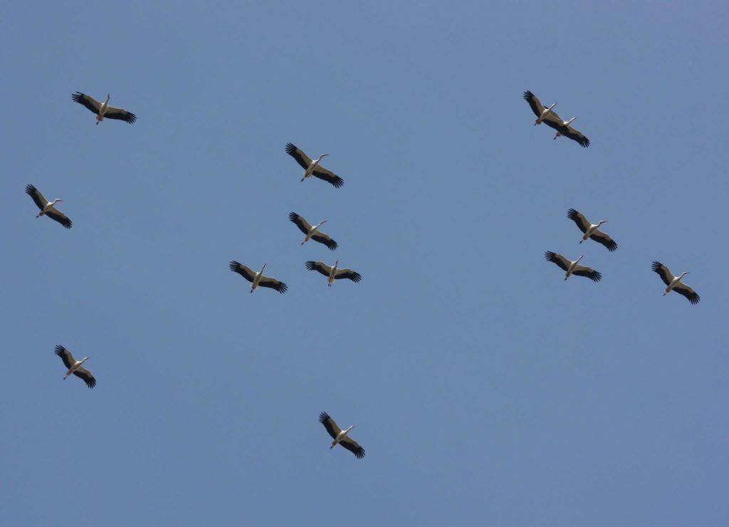 Storksläpp